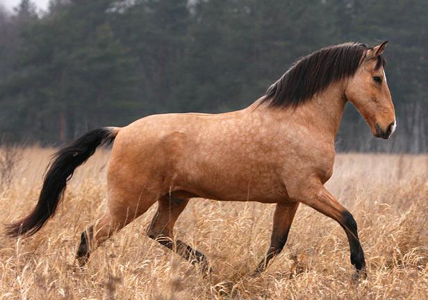 Португальская лошадь, фото