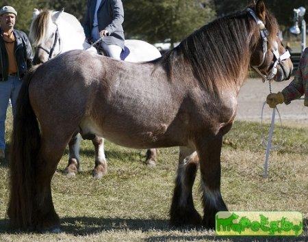 Бельгийская рабочая лошадь, фото