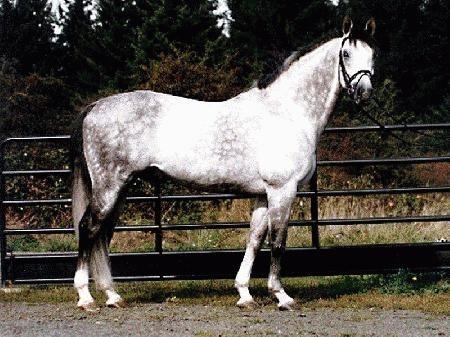 Светлая Баварская теплокровная верховая лошадь, фото