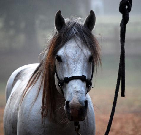 Серая лошадь породы Флоридский Крэкер, фото