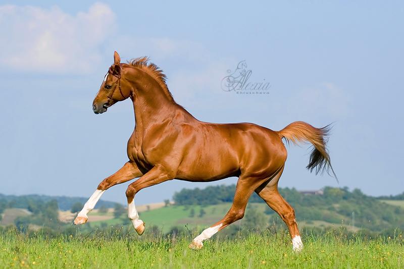 Скачущая Баварская теплокровная верховая лошадь, фото