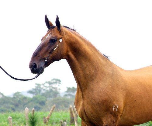 Статная лошадь породы Камполина, фото