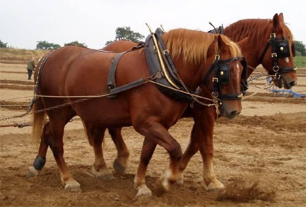 Суффольская порода лошадей в работе, фото