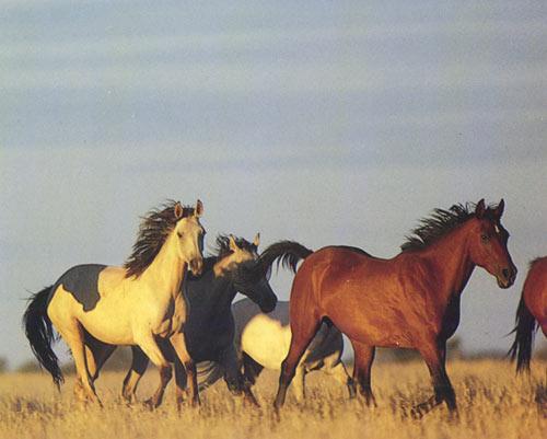 Табун лошадей породы Катхиавари, фото