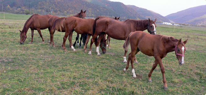 Табун лошадей породы Плевен, фото