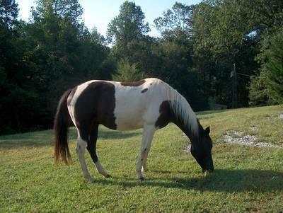 Теннесийская прогулочная лошадь щиплет травку, фото
