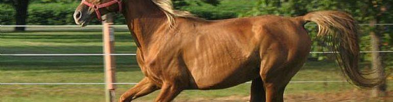 Теннесийская прогулочная порода лошадей