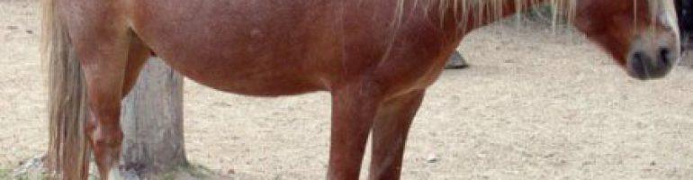 Анадолу пони (Турецкий пони)
