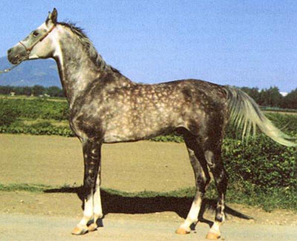 Тушинская порода лошадей в Грузии, фото