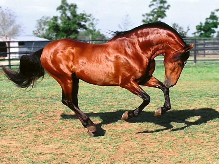 Тушинская порода лошадей на скаку, фото
