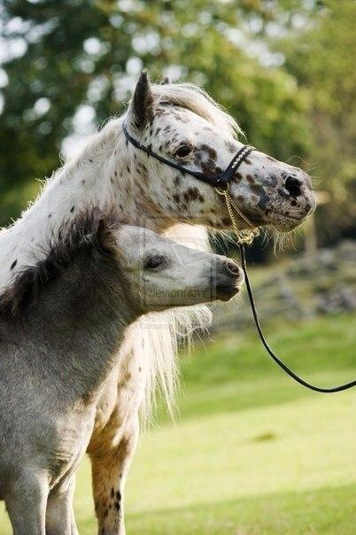 Уэльские пони, фото
