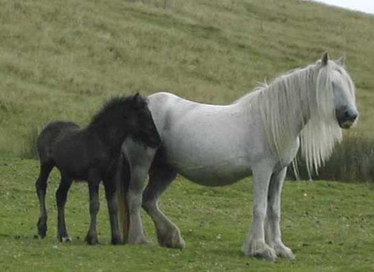 Фелльский пони с жеребенком, фото