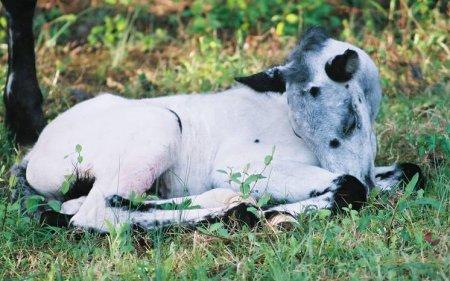 Фото жеребенка малопятнистой леопардовой масти