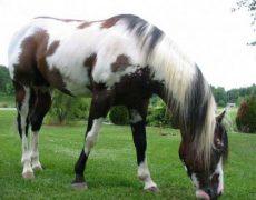 Пегая масть лошади