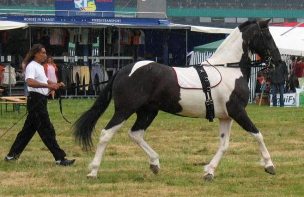 Фото лошади вороно-пегой масти на арене