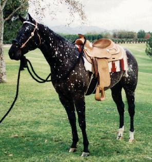 Фото лошади вороно-чубарой масти типа снежок