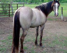 Саврасая масть лошадей