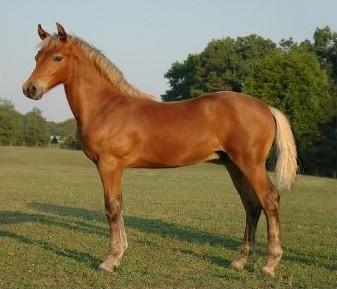 Фото лошади серебристо-гнедой масти породы морган