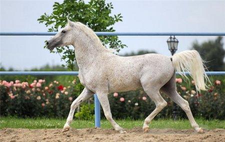 Фото лошади серой в красную гречку (форелевой) масти арабской породы
