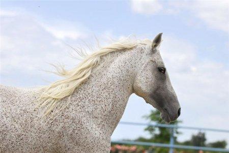 Фото лошади серой в красную гречку (форелевой) масти