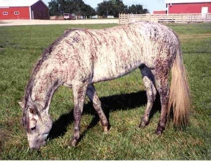 Фото лошади серо-чубарой тигровой масти