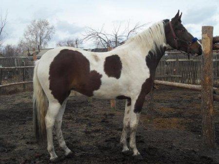 Фото лошадки гнедо-пегой масти