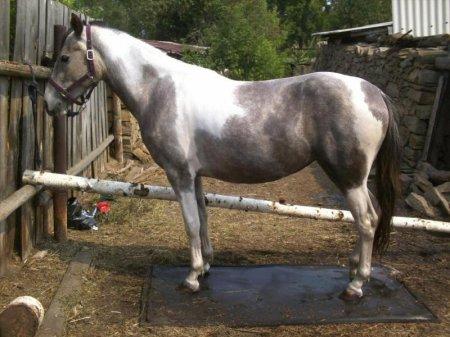 Фото лошадки серо-пегой масти
