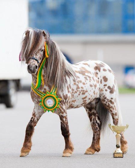 Фото пони призера леопардовой масти
