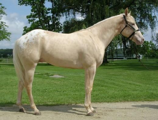 Фото чепрачной масти чубарой лошади