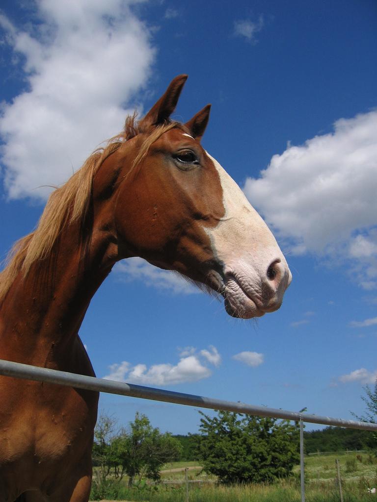 Фредериксборгская лошадь, фото