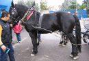 Черноморская лошадь