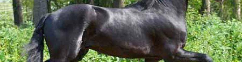Вьетнамский хмонг — порода лошадей