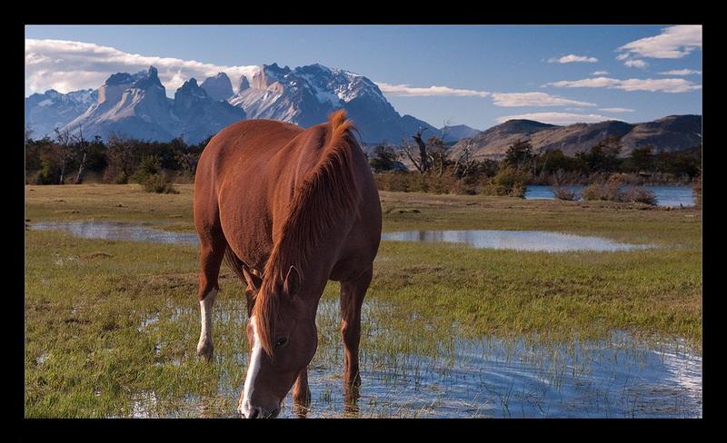 Чилийская лошадь на водопое, фото