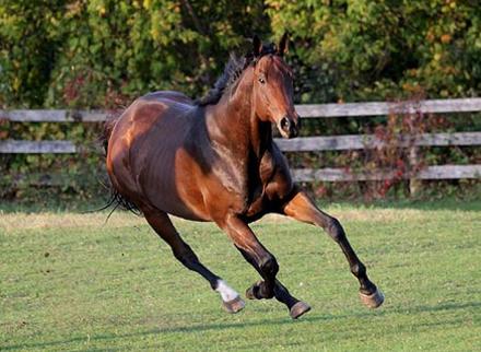 Чистокровная верховая лошадь на бегу, фото