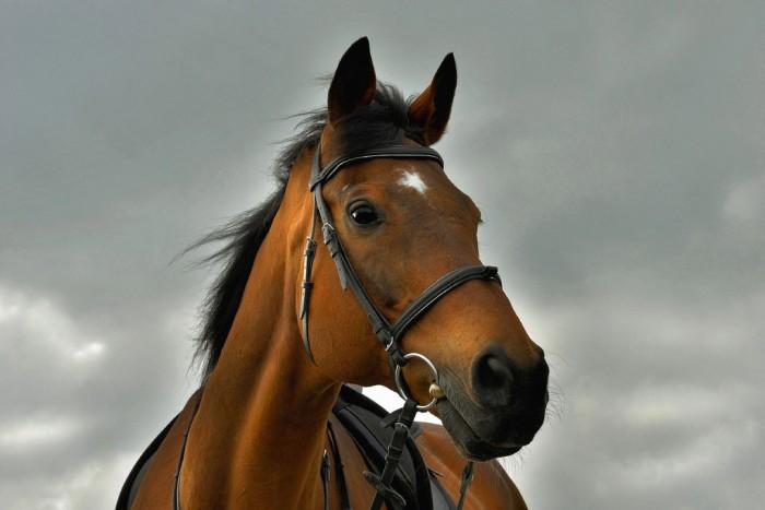 Чистокровная верховая лошадь, фото