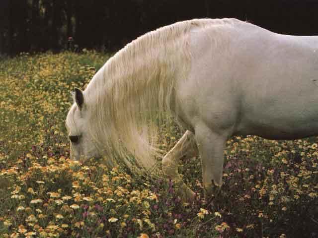 Чистокровная испанская лошадь в цветах, фото