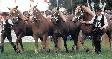 Южно-германская порода лошадей в уздечках, фото