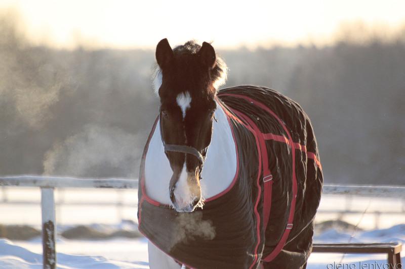 Южно-германская порода лошадей, фото