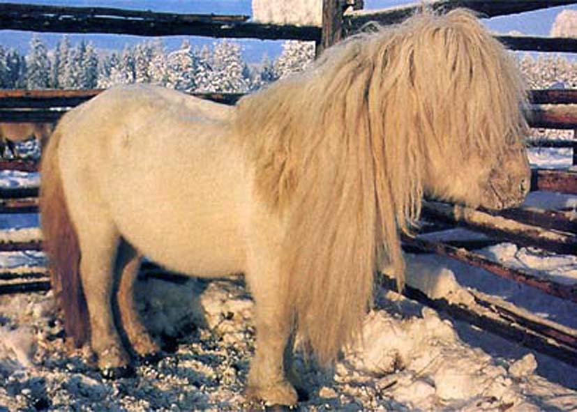 Якутская лошадь, фото