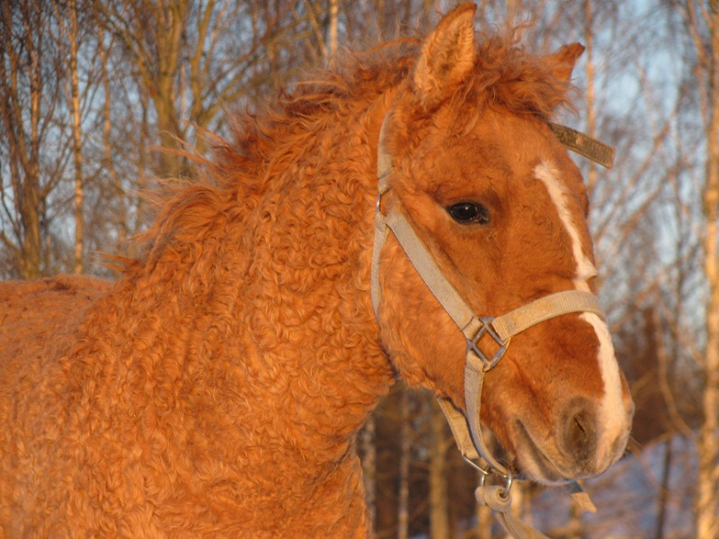 Яркая кучерявая Забайкальская лошадь, фото