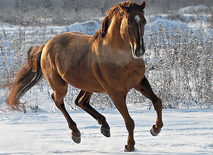 Описание кустанайских лошадей