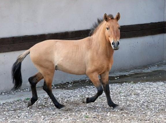 О лошади Пржевальского