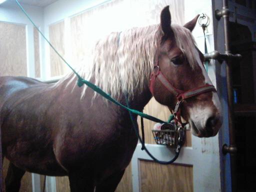 Бельгийский игреневый конь