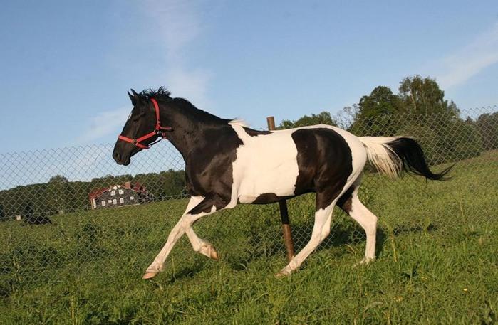 ворон-пегая лошадь