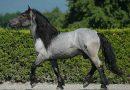 Темно-серая масть лошадей