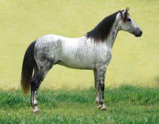 Серая в яблоках масть лошадей