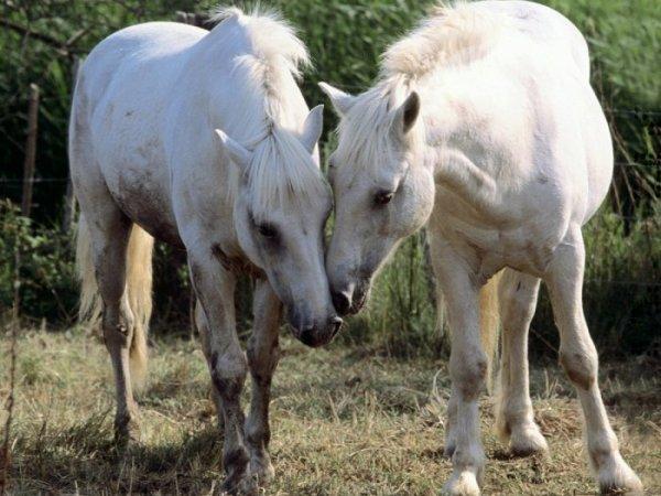 Лошади в период случки