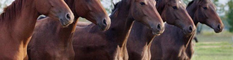 Гастрофилез лошадей