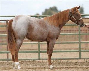 Гнедо-чалая масть лошадей