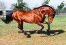 Лошади гнедой масти